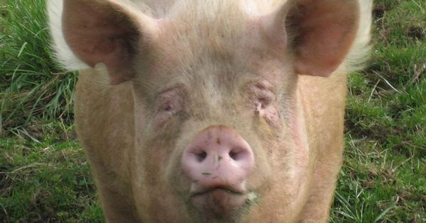 Baby Pig Pictures Free