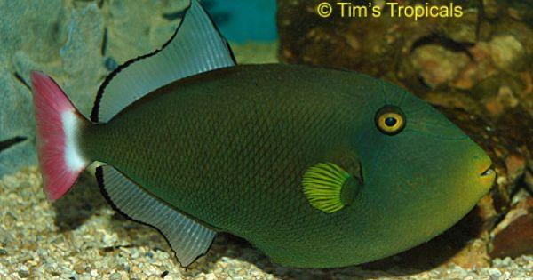 Pink Tail Triggerfish Melichthys Vidua Tropical Fish Pictures Marine Fish Tanks Sea Fish