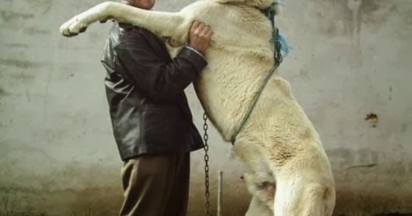 Anatolian Shepherd | Pets & Their People | Pinterest | Largest Dog ...