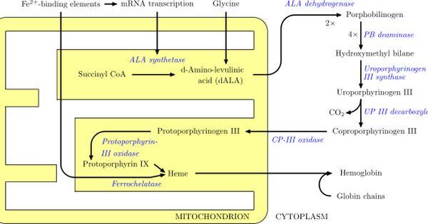 Heme Synthesis Usmle Step 1 Rare Disease High Metabolism Neurotransmitters