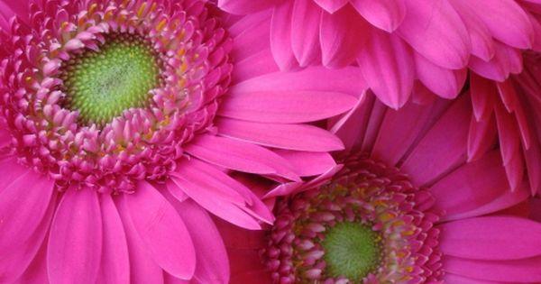 Bright pink daisies.