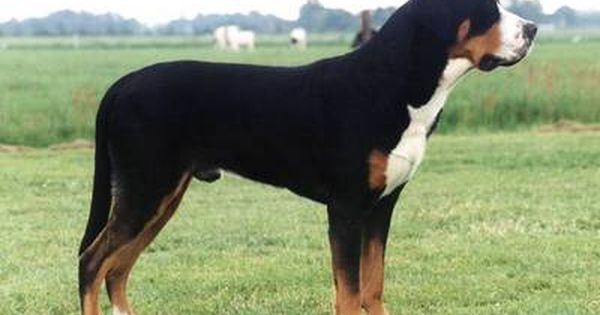 Greater Swiss Mountain Dog Life Span 10 To 11 Years Color Tri Color Origin Switze Entlebucher Mountain Dog Greater Swiss Mountain Dog Mountain Dog Breeds