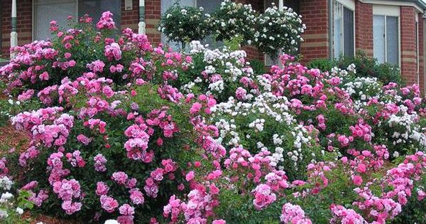 Mixed varieties of easy care flower carpet roses are ideal for Easy gardens to maintain