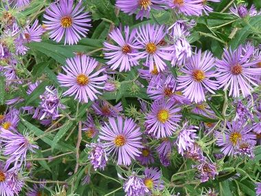 New England Aster Pictures Flowers Leaves And Identification Edible Wild Plants Leaf Identification Edible Flowers