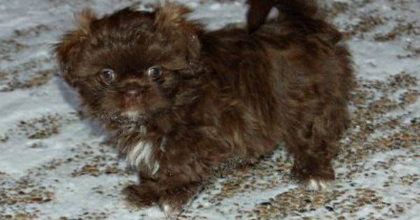 Names For A Brown Dog Select From Hundreds Of Choices Brown Dog Brown Shih Tzu Shih Tzu Puppy