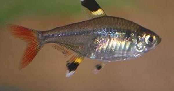 X Ray Tetra Pristella Maxillaris Animals A Z Animals Animal Facts Information Pictures Vi Tetra Fish Freshwater Aquarium Fish Tropical Fish Aquarium