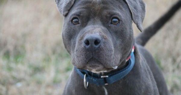 Bishop Adopt Him At Vrcpitbulls Net Villalobos Rescue Dogs Dog Friends Dog Adoption