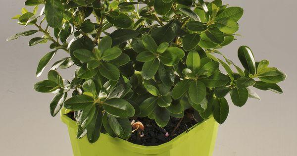 escallonia laevis pink elle 39 lades 39 cov arbustes persistants pinterest pink. Black Bedroom Furniture Sets. Home Design Ideas
