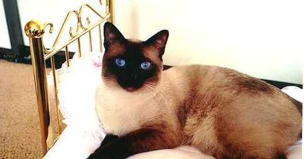 Blue Point Applehead Siamese Cats With Images Siamese Cats