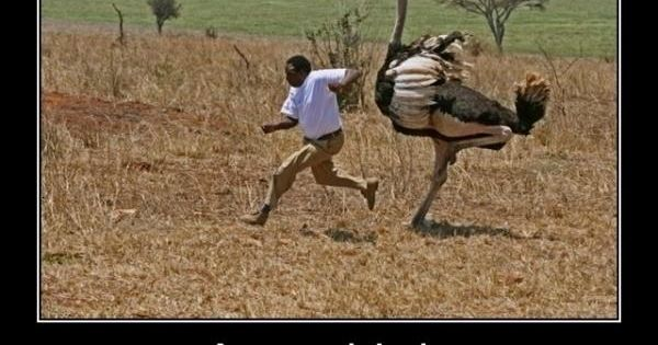 Angry Birds, Africa style LOL Yeah, never mess with an Ostrich.. ever..