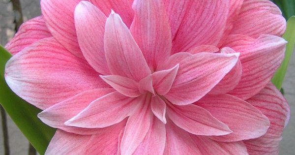 Double dream amaryllis amaryllis hippeastrum forum for Signification amaryllis