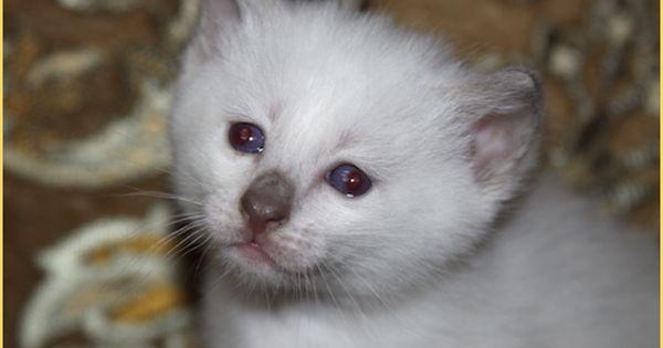 Kittens For Sale Applehead Siamese Cat Breeders Balinese Siamese Cat Breeders Balinese Cat Burmese Kittens