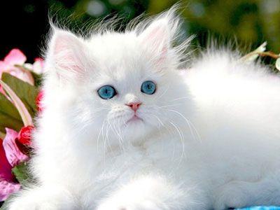 Persian Cat Price Personality Lifespan Pretty Cats Cute