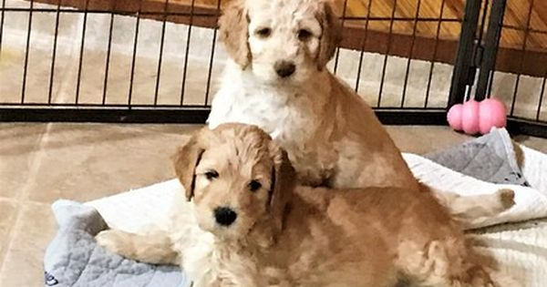 Litter Of 3 Goldendoodle Puppies For Sale In Jacksonville Fl Adn