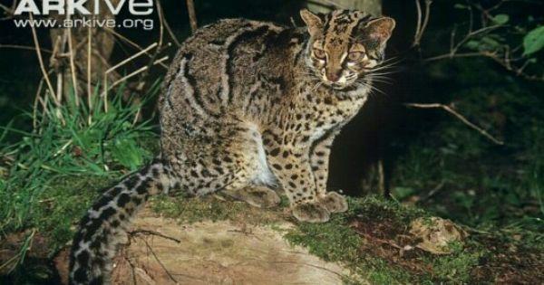 Kucing Dahan Marbled Cat Malaysian Wild Cat Felinos Primatas Estampas