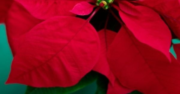 Are Poinsettias Harmful To Dogs And Cats With Images Poinsettia Christmas Flowers Flowers