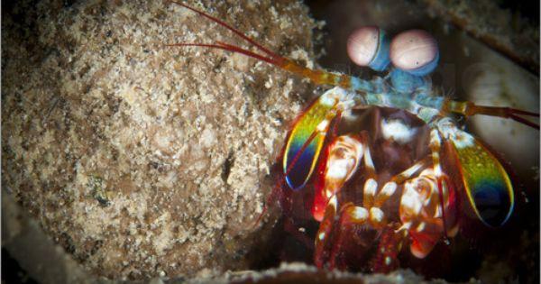 Steve Jones Peacock Mantis Shrimp Peering From Behind A Rock Indonesia Mantis Shrimp Rainbow Shrimp Peacock Pictures