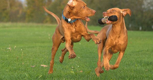 Rovidszoru Magyar Vizsla Vadaszkutya Vizsla Vizsla Dogs Dogs