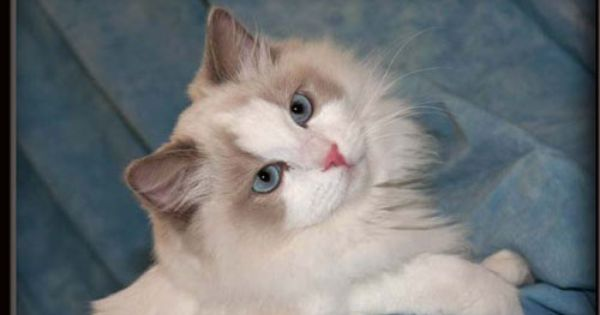 Rags2dazzle Ragdolls Breeder Of Beautiful Ragdoll Cats Kittens Located In Florida Hello And Welcome To Rags2daz Ragdoll Kitten Ragdoll Cat Cats And Kittens