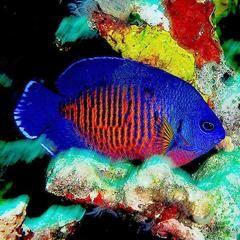 Coral Beauty Angelfish Marine Aquarium Fish Reef Safe Fish Saltwater Fish Tanks