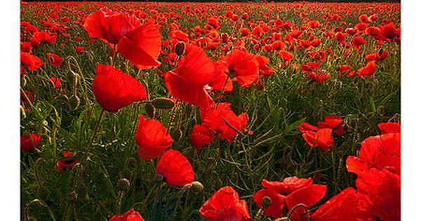 Fleur - Coquelicot - Poppies by Adam Edwards La fleur sans parfum