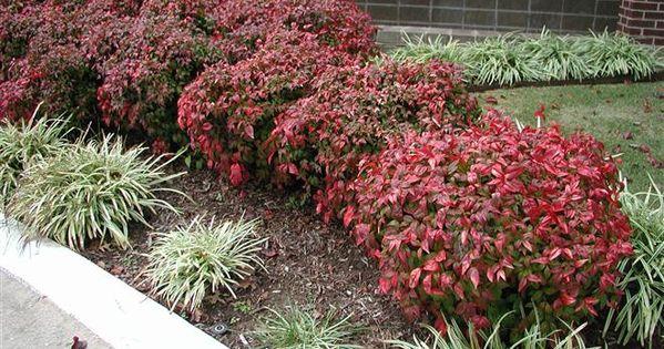 Nandina fire power love this shrub it is pretty year for Pretty low maintenance plants