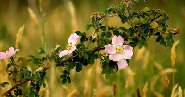 Wild Rose Is For Apathy And Lack Of Enthusiasm When You Lose Your Spark Of Interest In Life Irish Flower Bach Flowers Bach Flower Remedies