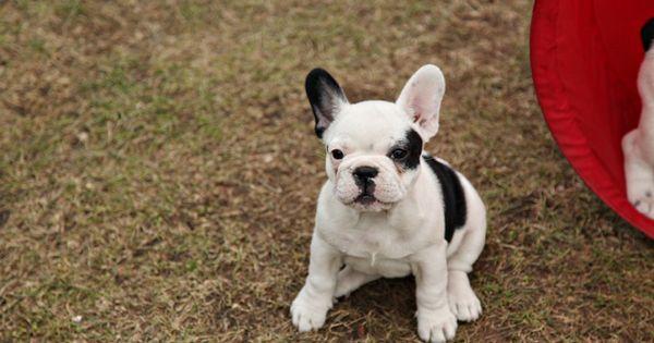 baby french bulldog!