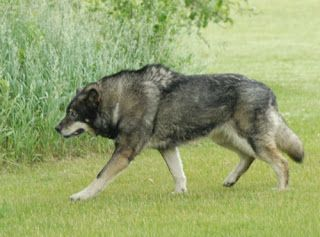 Wolf German Shepherd Hybrid