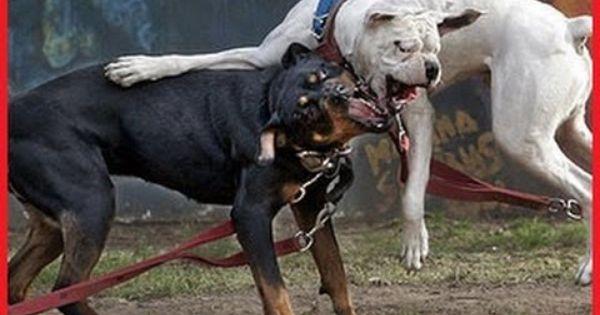 Dog Fight Videos Pitbull Vs Rottweiler