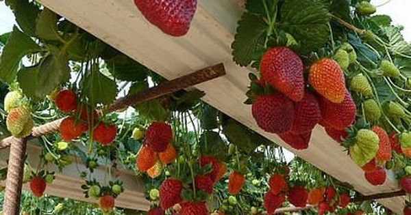 hanging strawberry garden; grow strawberries from elevated rain gutters.