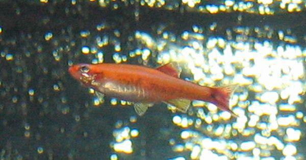 Gold White Cloud Mountain Minnow Tanichthys Albonubes Gold Fish In Our Aquarium Aquarium Fish Goldfish Fish Pet