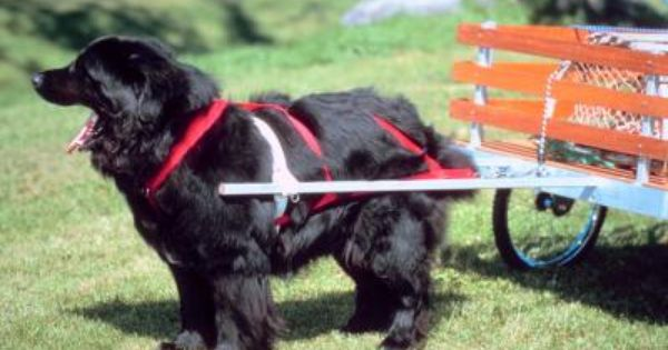 How To Make Easy Carting Harnesses For Dogs Newfoundland Puppies