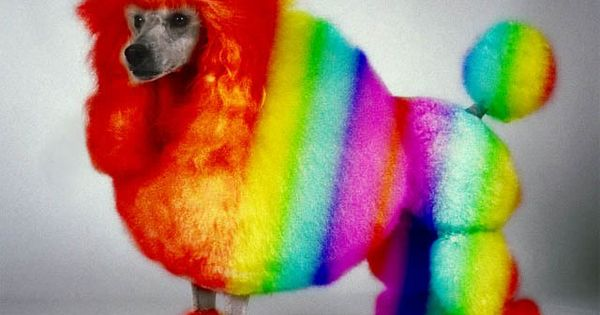 Rainbow Poodle | rainbow-poodle.jpg | Dogs with color ...