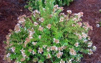 Rose Creek Abelia 2 3 Ft Tall 3 4 Ft Wide Blooms Early Summer