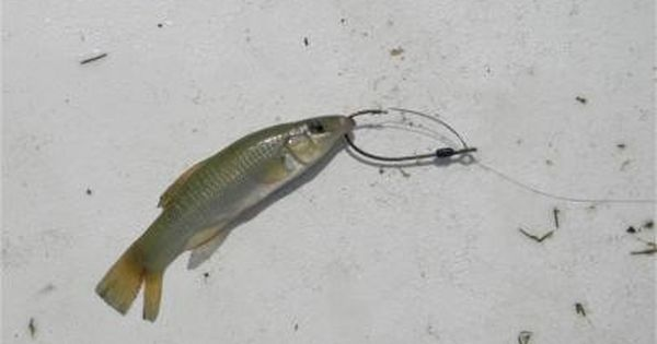 Top 10 Live Baits For Inshore Saltwater Fishing Saltwater Fishing Fish Saltwater Fishing Lures