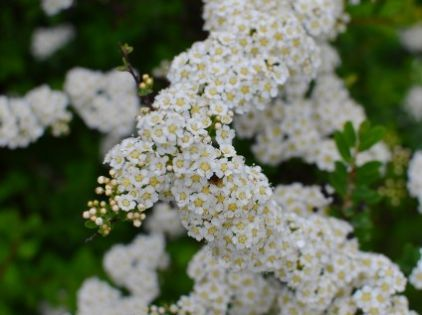 Spring Garden Flowers - Amy Renea. Spiraea van hour tea or bridal