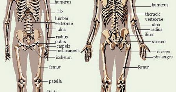 skeletal system diagrams including definitions of the major bones of the body skeletalsystem. Black Bedroom Furniture Sets. Home Design Ideas