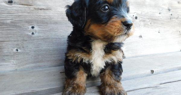 Miniature Bernedoodle Puppy For Sale In Millersburg Oh Adn 34161 On Puppyfinder Com Gender Male Age 6 Weeks Bernedoodle Puppy Bernedoodle Puppies For Sale