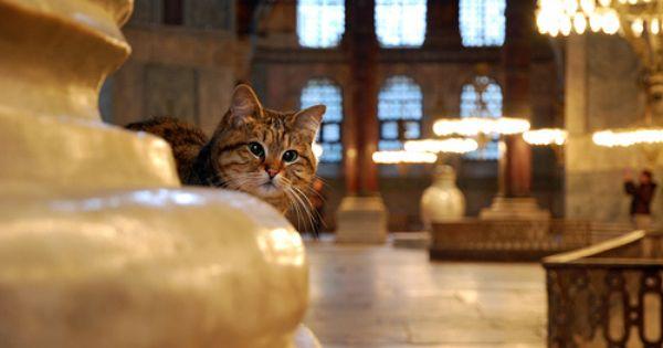 The Cat In Haya Sophia Hagia Sophia Cat Life Cats