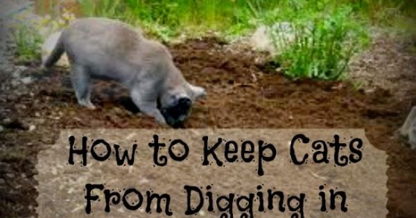Greneaux Gardens Easy Way To Keep Cats From Digging Up