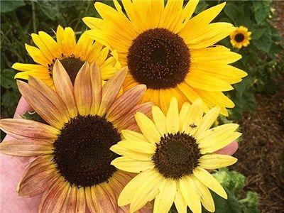 Fantazja Sunflower Flower Pictures Sunflower Flower Sunflower
