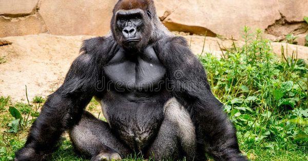 Gorilla Primate Big Strong Gorilla Male Primate Sitting In The Grass Ad Big Strong Gorilla Primate Sitting A Primates Gorilla Silverback Gorilla