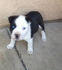 Pitsky Pitbulls Husky Mix Pitbull Dog