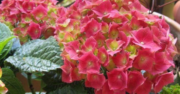 Consejos b sicos para cultivar hortensias hydrangea - Semillas de hortensias ...