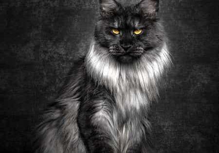 12 Portraits Majestueux D Un Chat Mythique Et Rare Le Maine Coon