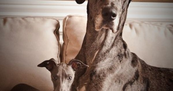3 Italian Greyhound And Great Dane Perfect Pet Combo Want These
