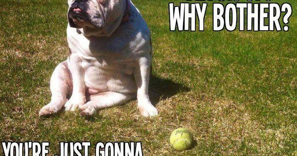 bulldog humor laurel pinterest humor