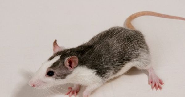 Rats And Their Types Colors And Patterns Cute Rats Pet Rats Rats
