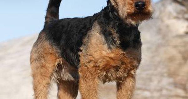 Avonside Hunde Kalender 2017 Avonside Hunde Wandkalender 2017 Welsh Terrier Welsh Terrier Terrier Calendar 2017